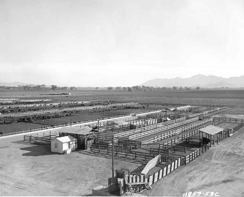 feed-lot-aerial-1953